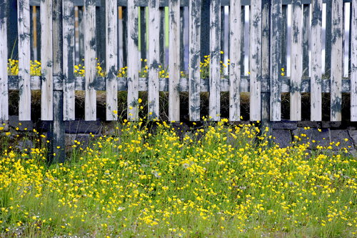 [Wildflowers and Fence] style=