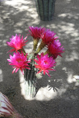 [Cactus in Bloom] style=