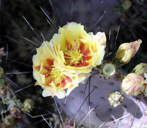 [Cactus in Bloom]